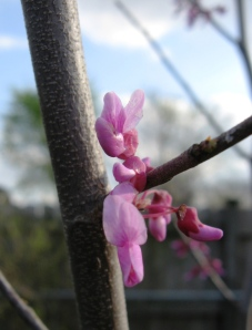 little-redbud